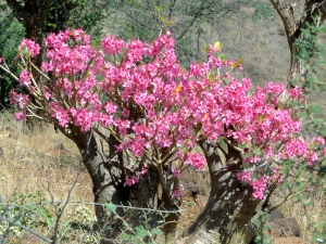 Desert flowers in the Borena region