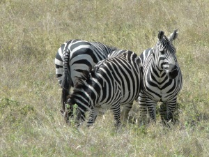 Zebra in Nechisar National Park near Arba Minch