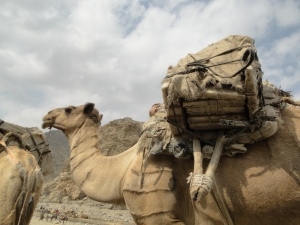 a camel loaded with salt plates on its way to Mekele