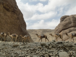 A camel caravan in the Saba river gorge in Afar