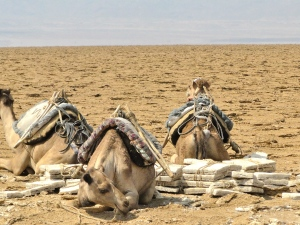 camels ready to be loaded with salt in Dallol